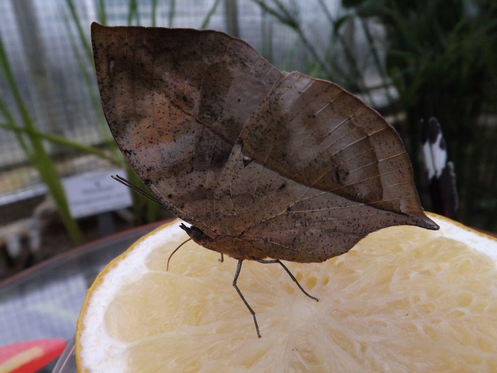 Kallima paralekta (Botanischer Garten München)