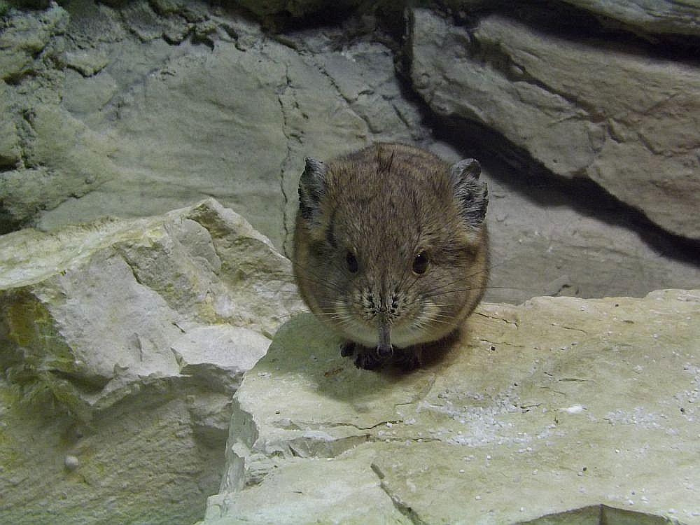 Kurzohrrüsselspringer (Tierpark Hellabrunn)
