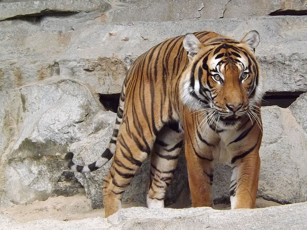 Malaiischer Tiger (Tierpark Berlin)