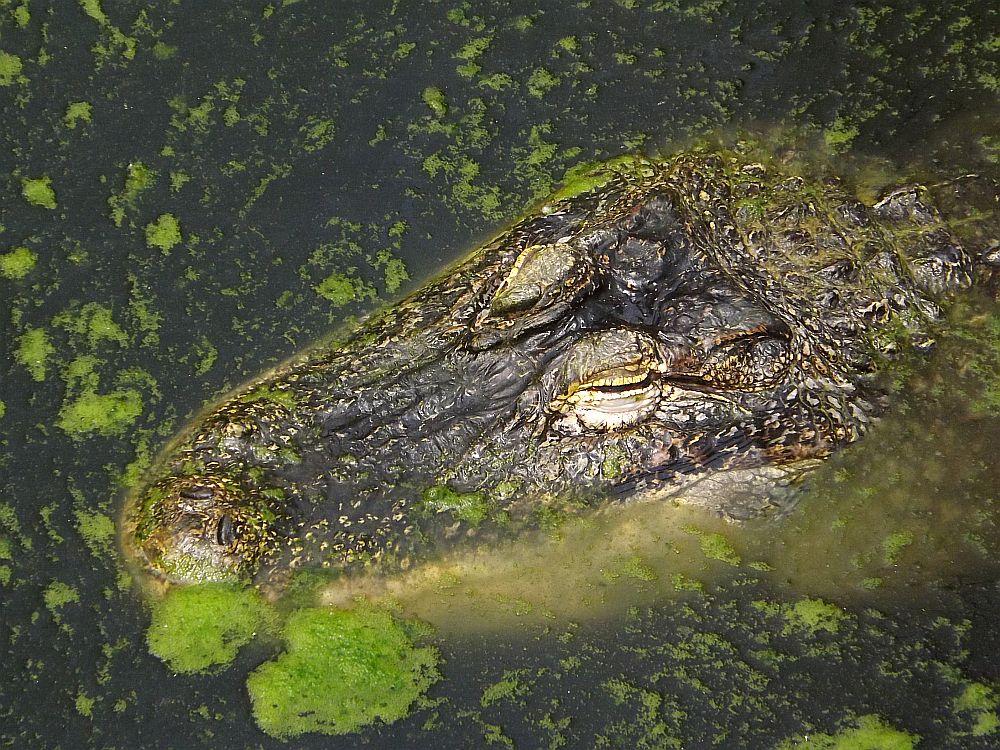 Mississippi-Alligator (Tierpark Berlin)