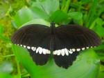 Papilio polytes (Botanischer Garten München)