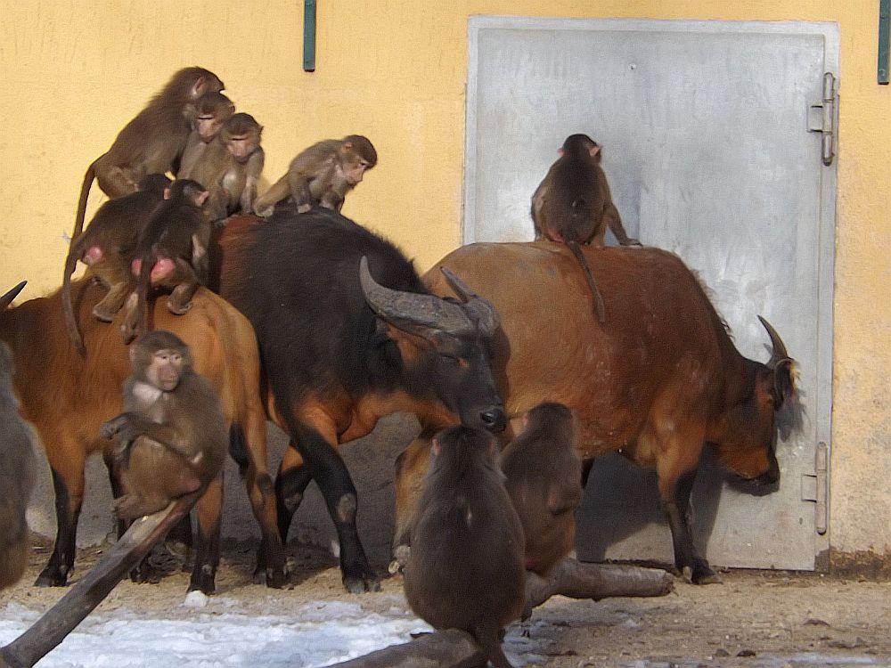 Rotbüffel und Mantelpaviane (Zoo Augsburg)