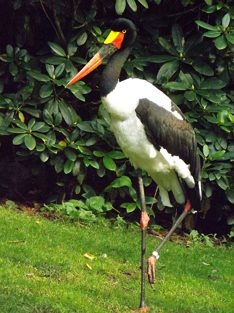 Sattelstorch (Weltvogelpark Walsrode)