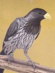 Schwarzschwanz-Lärmvogel (Vogelpark Olching)