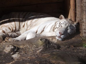 Weißer Tiger (Zoo Aschersleben)