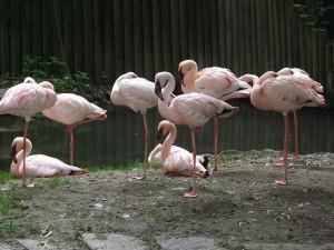 Zwergflamingo (Zoo Augsburg)