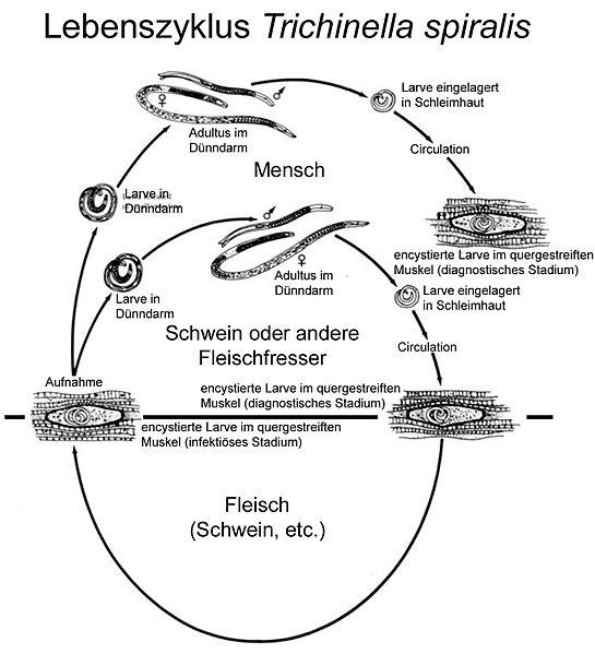 Lebenszyklus von Trichinella spiralis (CDC)