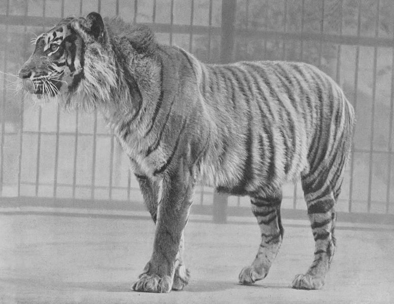 Java-Tiger (Zoo London)