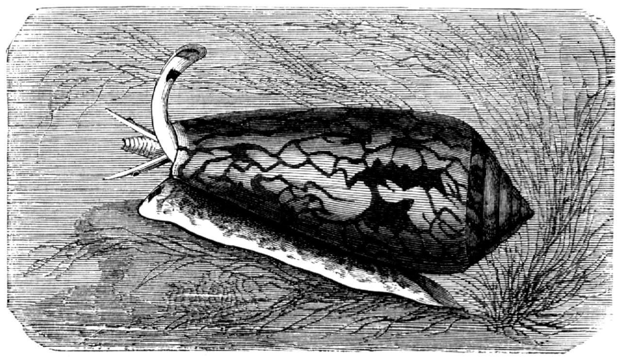 Kegelschnecke, Conus textilis (Brehms Tierleben)