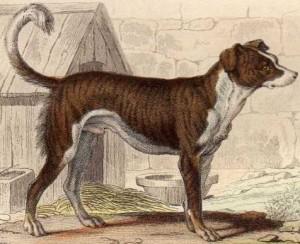 Mâtin (Georges-Louis Leclerc de Buffon)