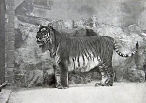 Kaspischer Tiger (Zoo Berlin, 1899)