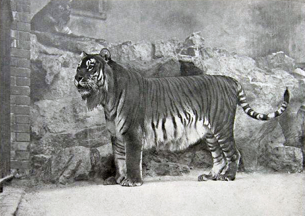 Kaspischer Tiger (Zoo Berlin, 1899)