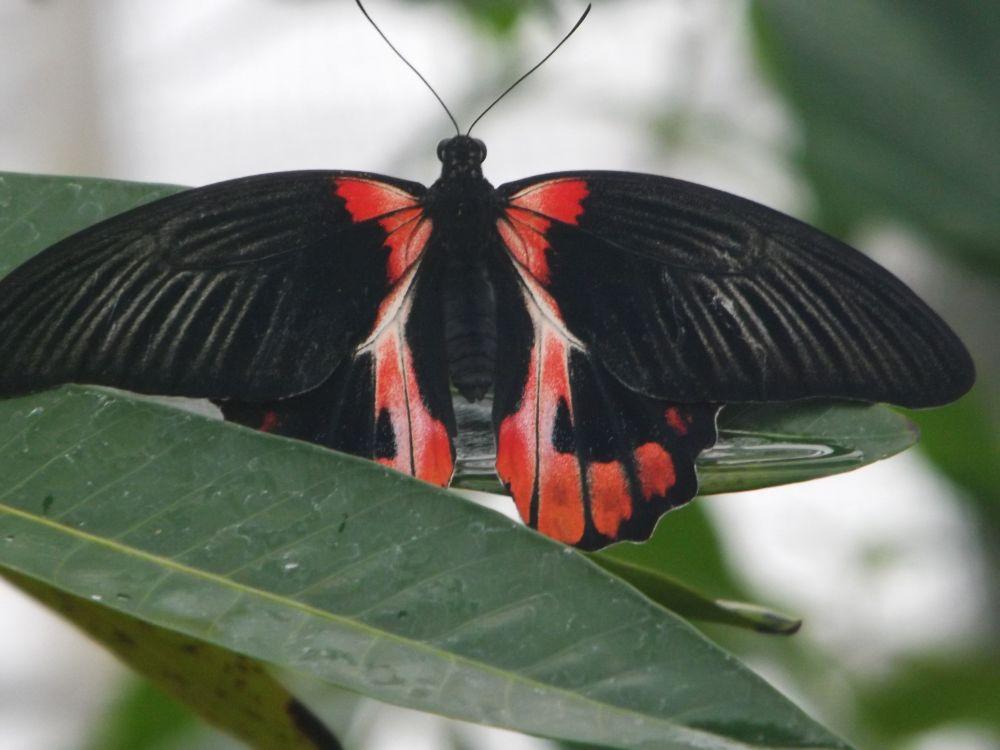 Papilio rumanzovia (Botanischer Garten München)