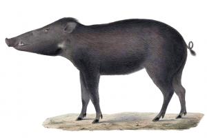 Sulawesi-Pustelschwein (H. Schlegel)