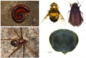 Beispiele entdeckter Arten: (v links oben n. rechts unten): der Tausendfüßer Aphistogoniulus infernalis, Schwebfliege Palpada prietorum, Maikäfer Neoserica sapaensis, Erzwespe Dibrachys verovesparum (ZFMK, Bonn)