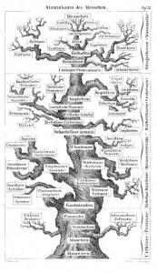 Der Stammbaum des Menschen (Haeckel)