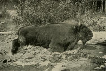 Bergwisent (E. Demidoff's book 'Hunting Trips in The Caucasus', 1889)