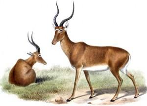 Hunter-Antilope (Joseph Smit)