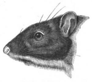 Megalomys desmarestii (Paul Gervais)