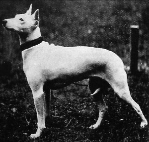 Olde White English Terrier Bylandt()