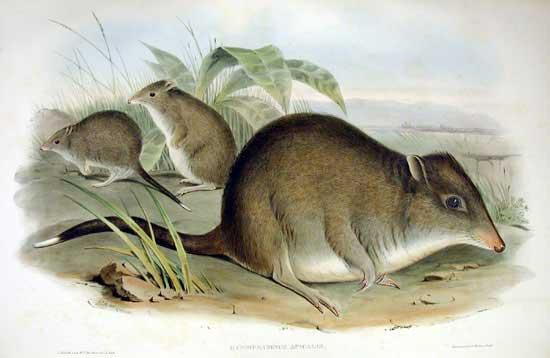 Potorous tridactylus (John Gould)