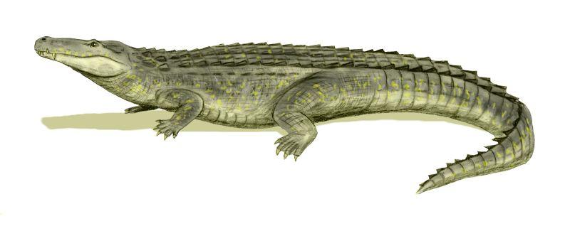 Purussaurus brasiliensis (© N. Tamura)