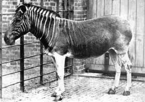 Quagga ( London, Regent's Park ZOO, 1870)