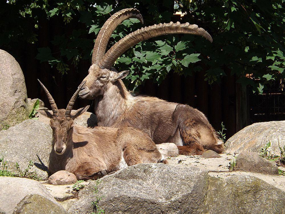 Alpensteinbock (Zoo Hoyerswerda)