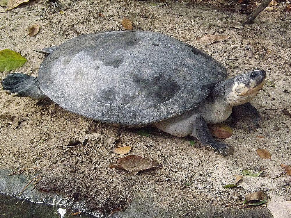 Arrauschildkröte (Zoo Krefeld)