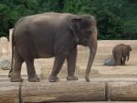 Asiatischer Elefant (Erlebniszoo Hannover)
