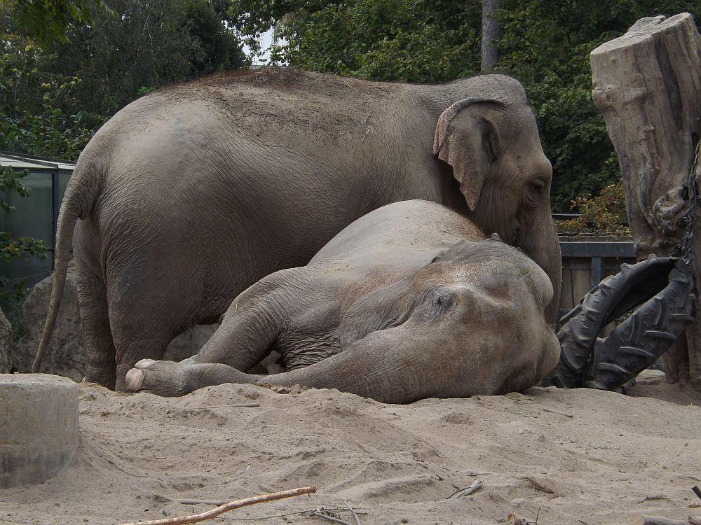 Asiatischer Elefant (Zoo Krefeld)