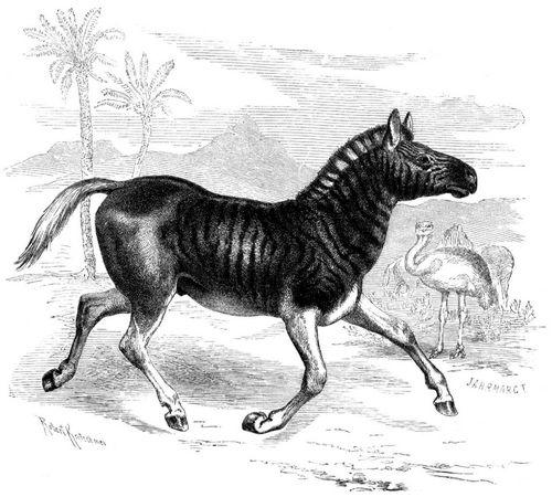 Quagga (Brehms Tierleben)