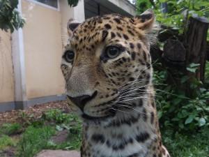 Chinaleopard (Tierpark Cottbus)