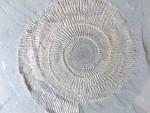 Dactylioceras semicelatum (Urweltmuseum Hauff)
