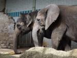 Asiatischer und Afrikanischer Elefant (Zoo Magdeburg)