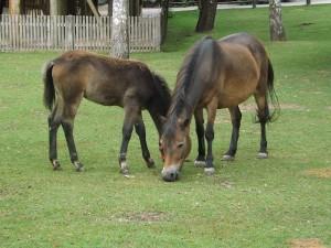 Exmoor-Pony (Erlebniszoo Hannover)