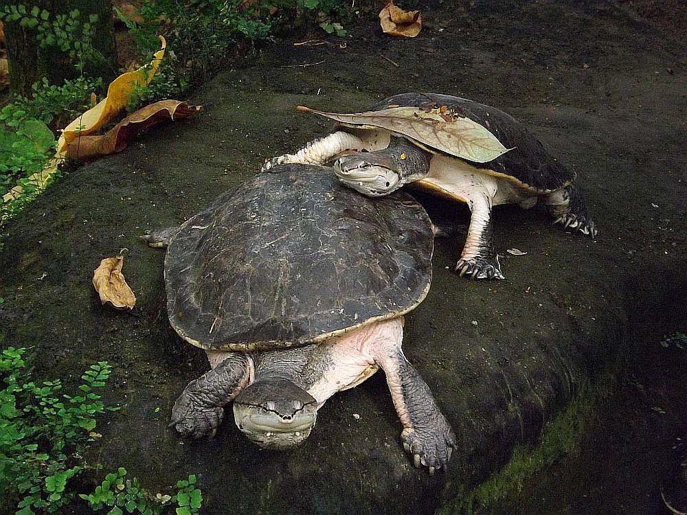 Helle Krötenkopfschildkröte (Zoo Krefeld)