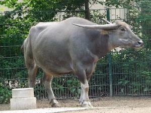 Kerabau, eine Wasserbüffelrasse (Tierpark Cottbus)