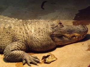 Mississippi-Alligator (Tierpark Ulm)