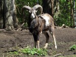 Mufflon (Tierpark Köthen)