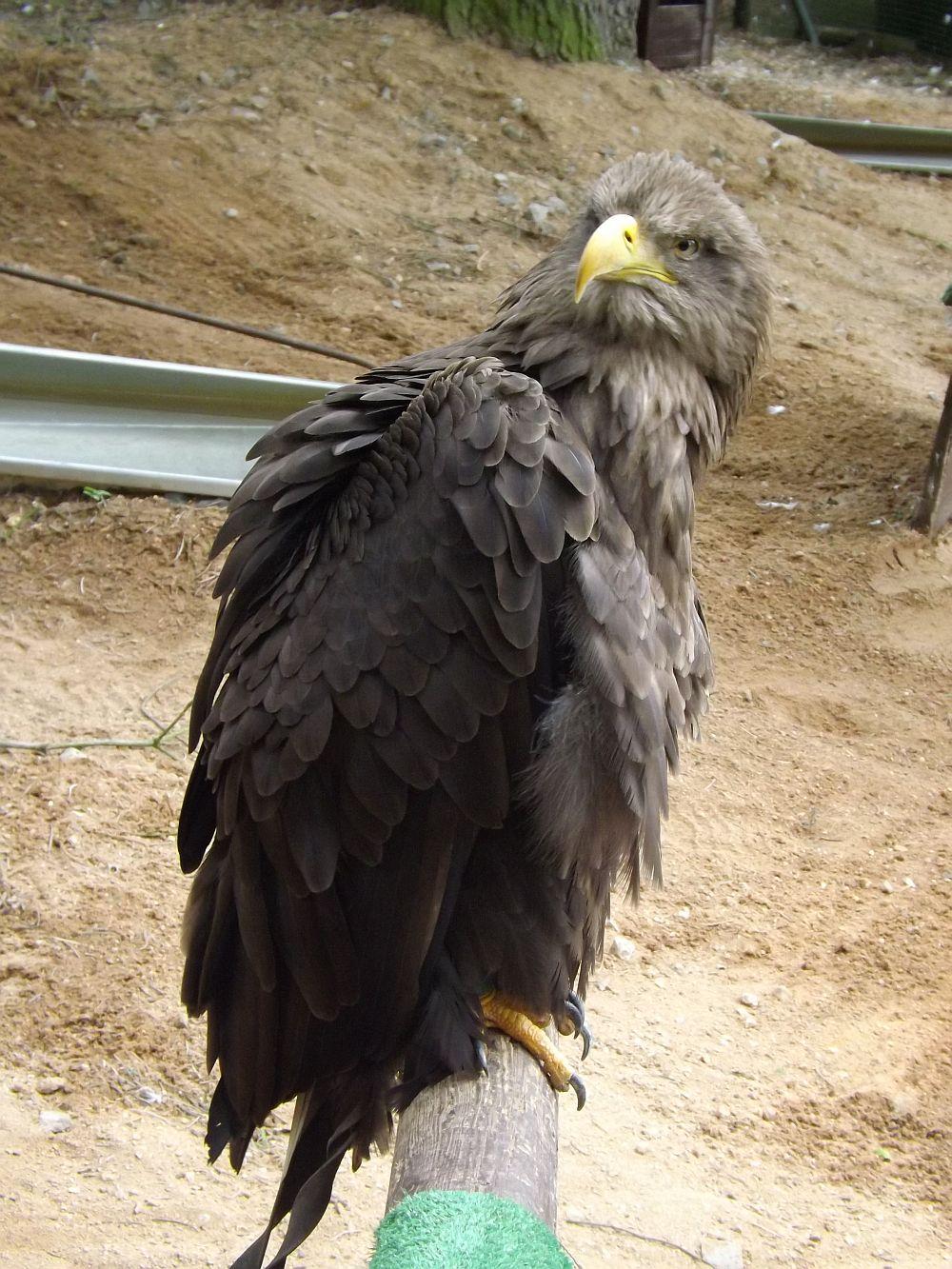 Seeadler (Zoo Plzen)