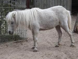 Shetland-Pony (Jurazoo Neumarkt)