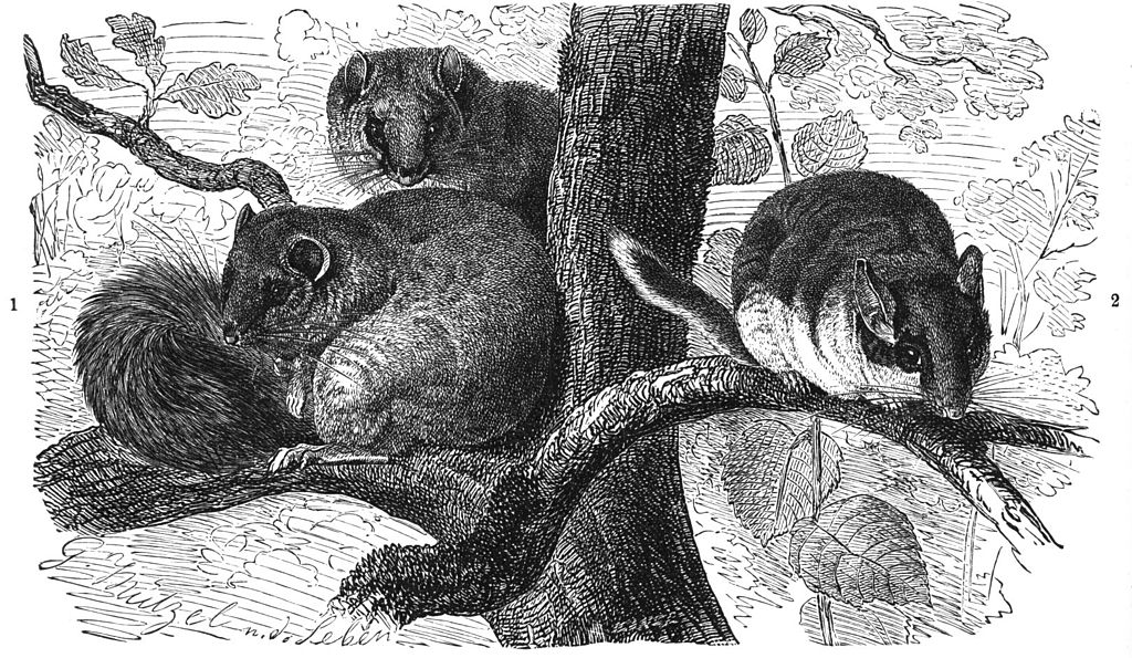Sieben- und Gartenschläfer (Brehms Tierleben)