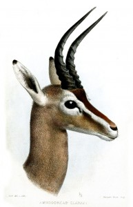 Stelzengazelle (Joseph Smit)