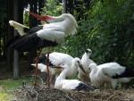 Weißstorch (Wildpark Poing)