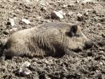 Wildschwein (Steinwasenpark)
