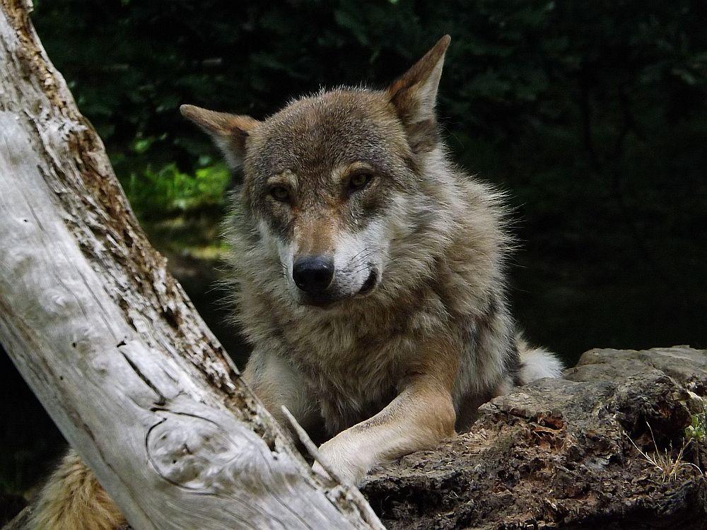 Wolf (Alpenzoo Innsbruck)