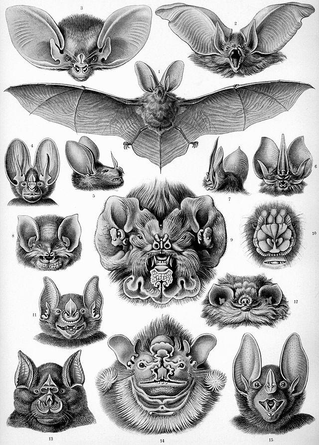 Köpfe verschiedener Fledermäuse (Ernst Haeckel)