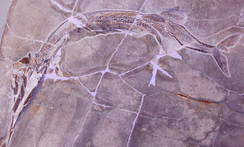 Saurichthys rieppeli, eine neue Fischart aus der Mittleren Trias des Monte San Giorgio, dem UNESCO-Welterbe im Tessin (Länge 60 cm)(Universität Zürich)