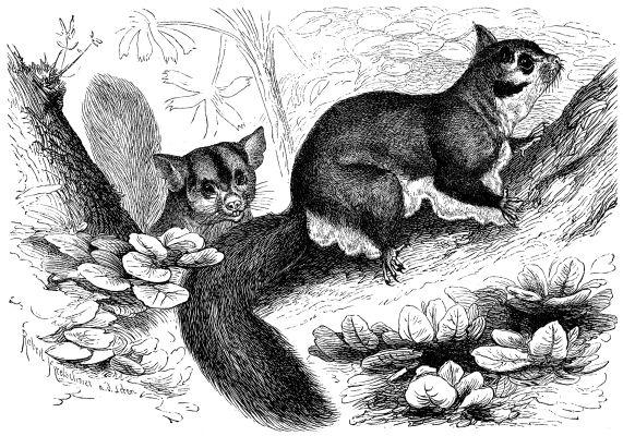 Kurzkopf-Gleitbeutler (Brehms Tierleben)